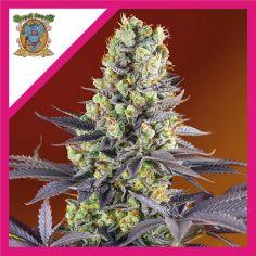 Sweet Seeds Sweet Zenzation...