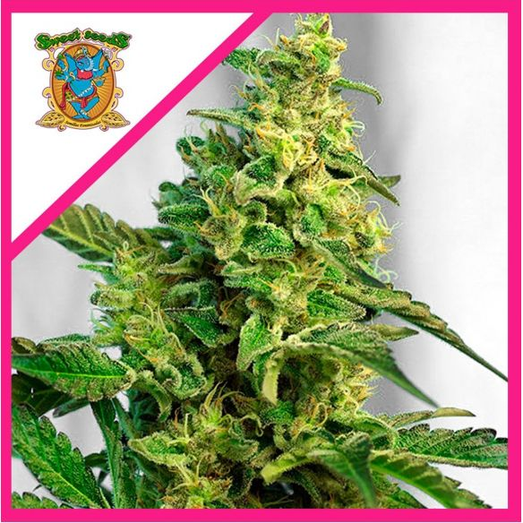 Sweet Seeds Green Poison F1 X25