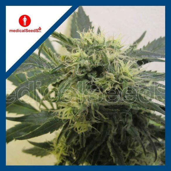 Medical Seeds Y Griega Cbd X3