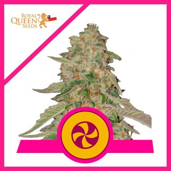 Royal Queen Seeds Sweet ZZ (Zkittlez) Fem X 3