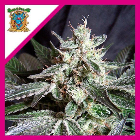 Sweet Seeds Black Jack F1 X3+1