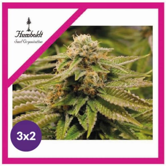 3X2 Humboldt Seeds Gorilla Breath Fem X3