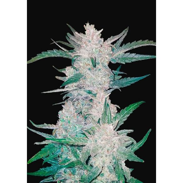 Fast Buds Mexican Airlines Auto X1