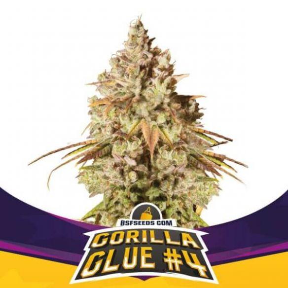 BSF Seeds Gorilla Glue N°4 Fem X4
