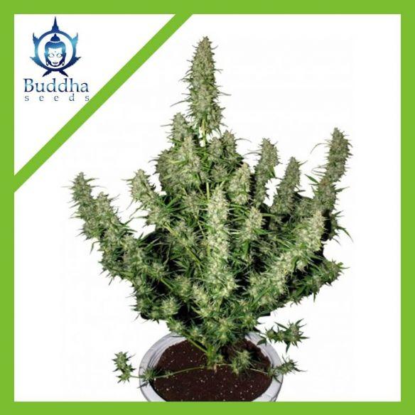 Buddha Seeds Auto Magnum Pack X3
