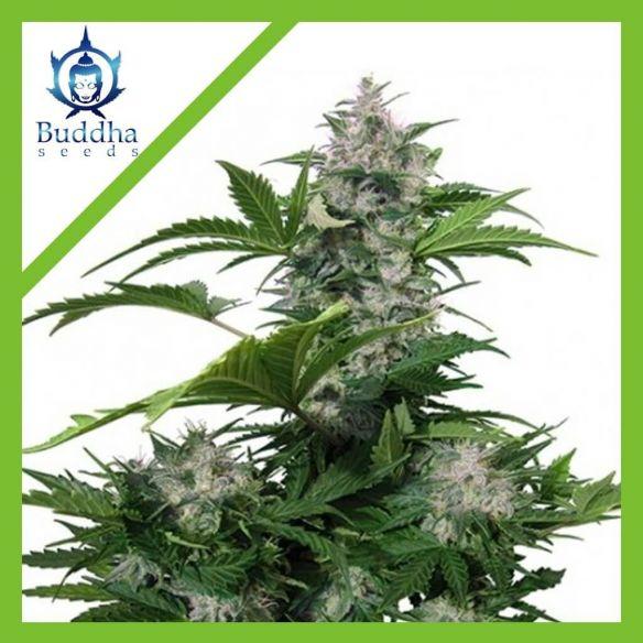 Buddha Seeds White Dwarf Auto X3
