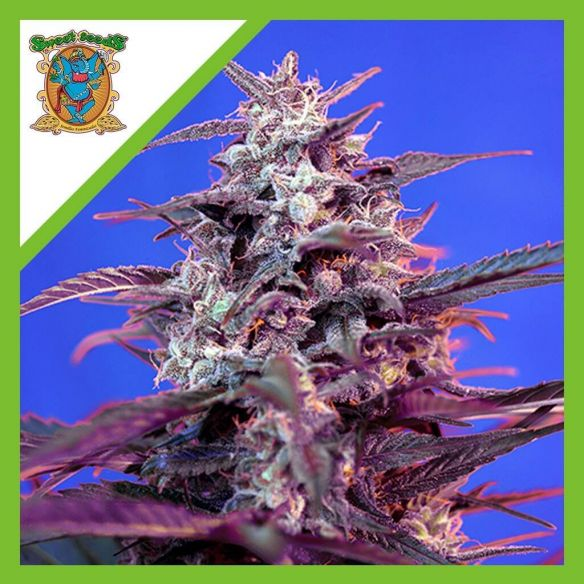 Sweet Seeds Bloody Skunk Auto Red Family X3+1