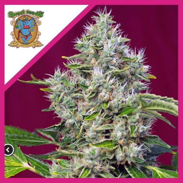 Sweet Seeds San Fernando Lemon Kush Fem X3+1