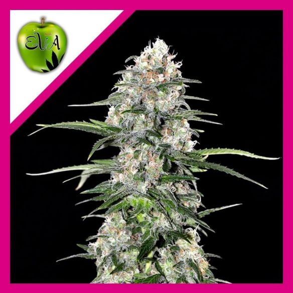 Eva Seeds Jamaican Dream Fem X3+1