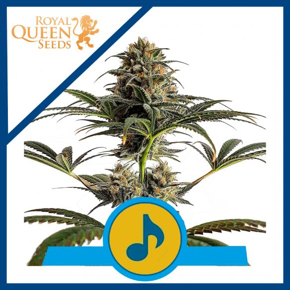 Royal Queen Seeds Dance World CBD Fem X3