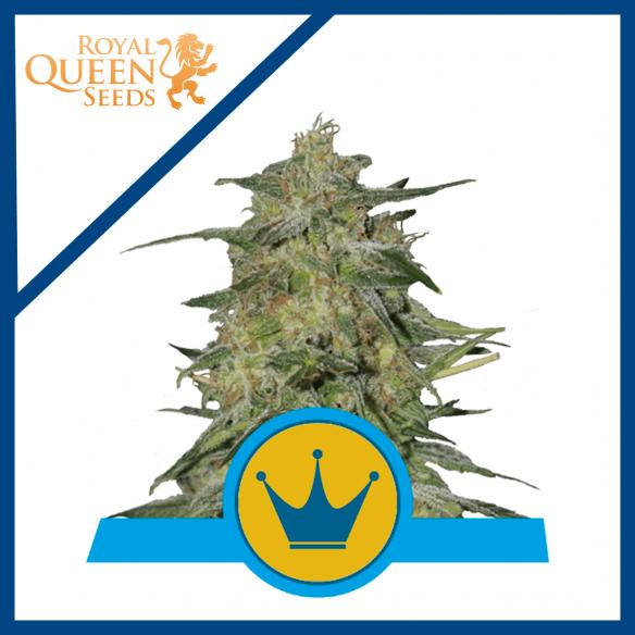 Royal Queen Seeds Royal Highness CBD Fem X3