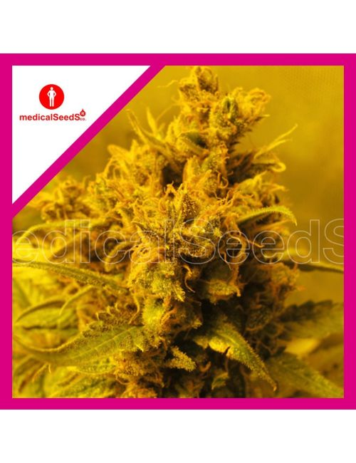 Medical Seeds Y Griega Fem X3