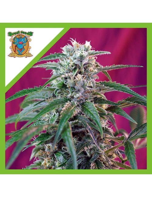 Sweet Seeds Green Poison Auto X3+1