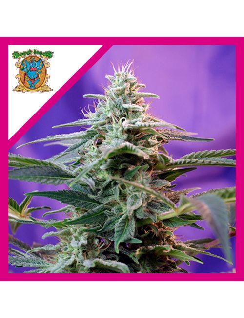 SWEET SEEDS SWEET SPECIAL AUTO X 3+1