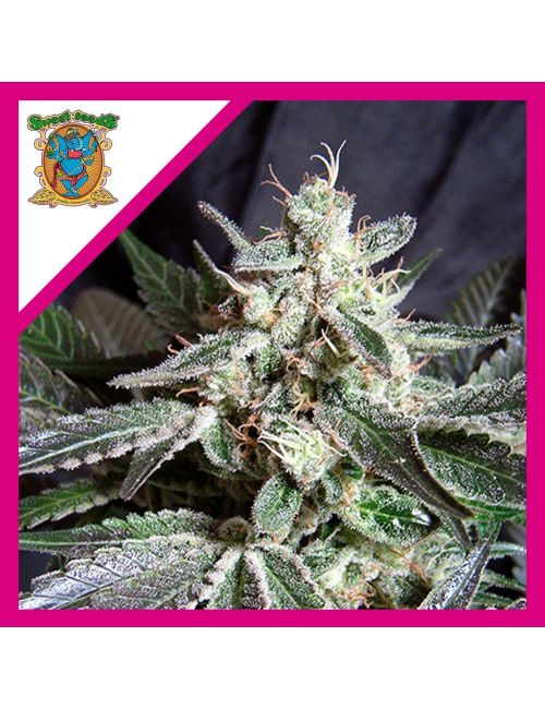 Sweet Seeds Black Jack Fem X3+1