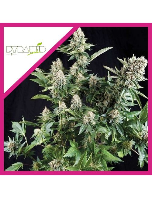 PYRAMID SEEDS  WHITE WIDOW CBD FEM X3