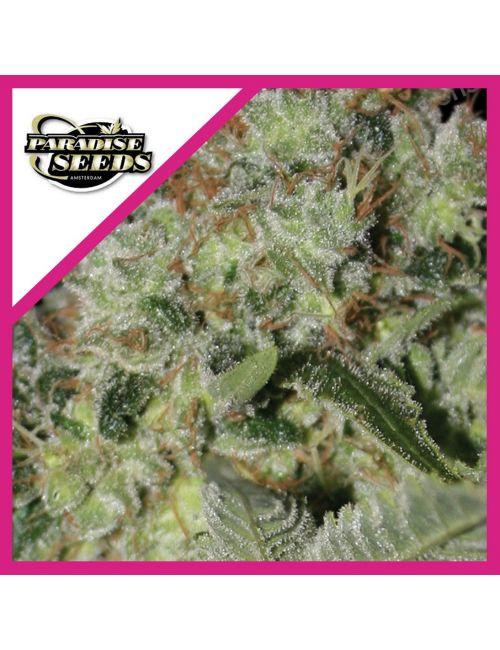 Paradise Seeds Acid Fem X3