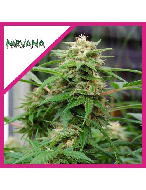 NIRVANA WHITE RHINO FEM X 1