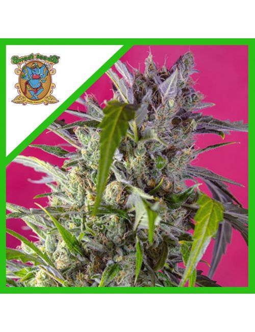 SWEET SEEDS CRYSTAL CANDY AUTO X 3+1