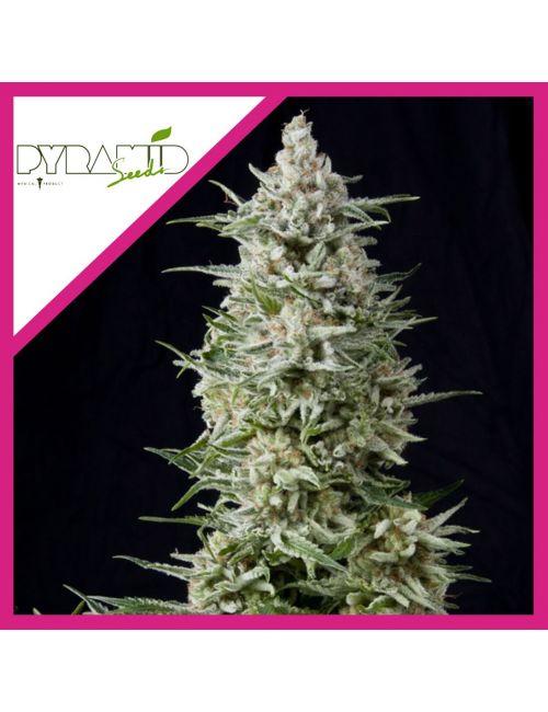 Pyramid Seeds Amnesia Gold Fem X 3+1