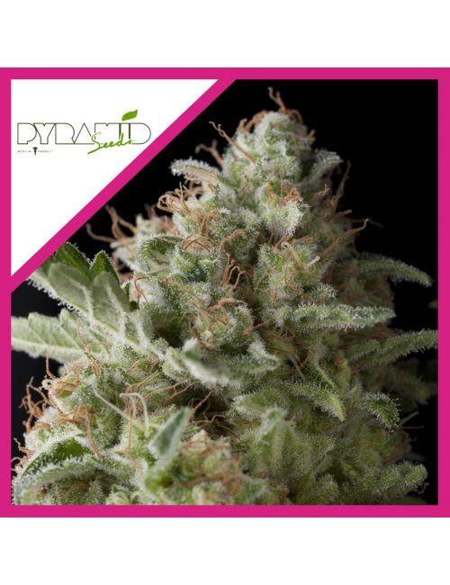 Pyramid Seeds  American Pie Fem X 3+1