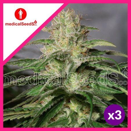 MEDICAL SEEDS O.G KUSH CBD FEM X3