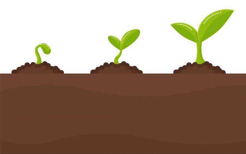3 formas de germinar semilla de cannabis