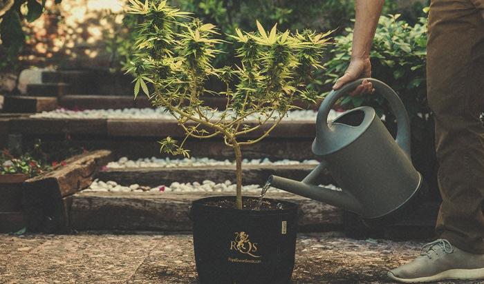 Etapa de floración de la marihuana