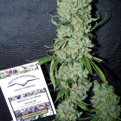 marihuana feminizada