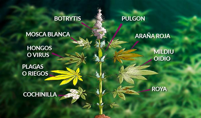 plagas marihuana