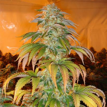 marihuana a prueba de plagas